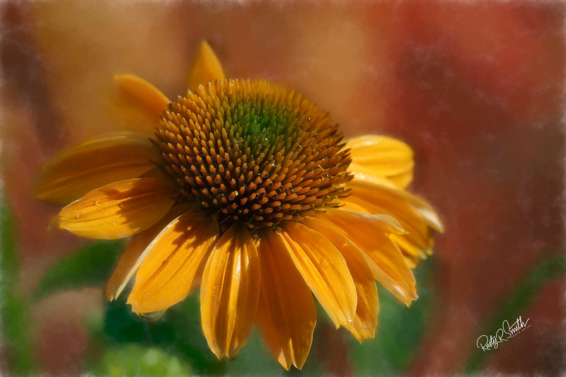 A single Coneflower blossom