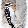 Mr. Hairy Woodpecker