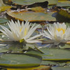 Two lillypads blossoms