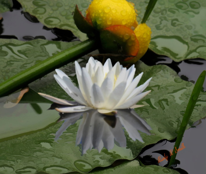 white and yellow water lilies.