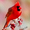The Male cardinal