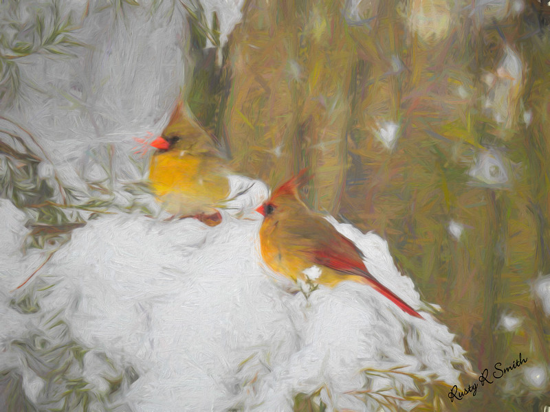 Two female cardinals on a snow covered branch.