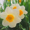 Daffodils in the rain.