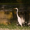 White egret standing near small pond.