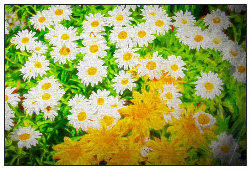A  group of yellow and white daisies.