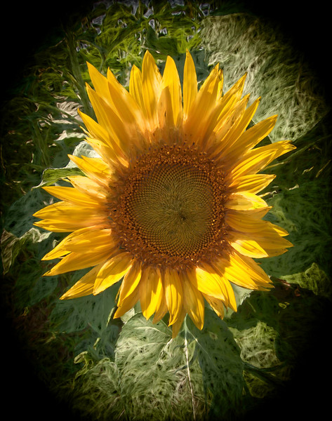 A digital art photograph of a single sun flower blossom, backlighting brings out the bright yellow color.