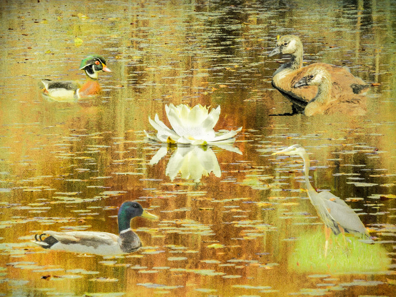 A waterfowl collage