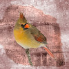 A digital art photograph of a female cardinal perching on a branch.