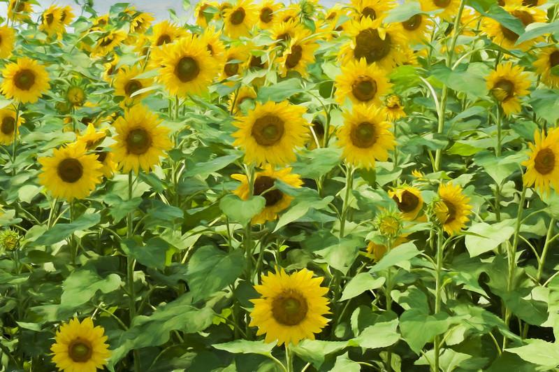 Sunflowers standing straight in the sunlight.