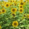 Sunflowers standing straight in the sunlight.