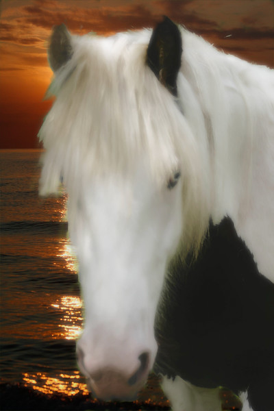 The beautiful face of a Gypsy Vanner horse
