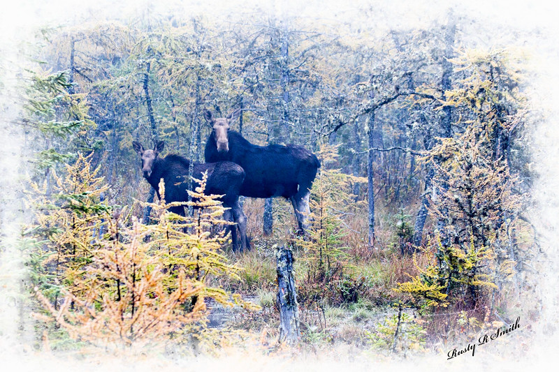 A cow moose and her calf.