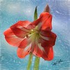 A soft view of a single amaryllis blossom.