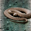 Coiled copperhead