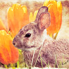 A young cottontail rabbit setting near group of tulips.