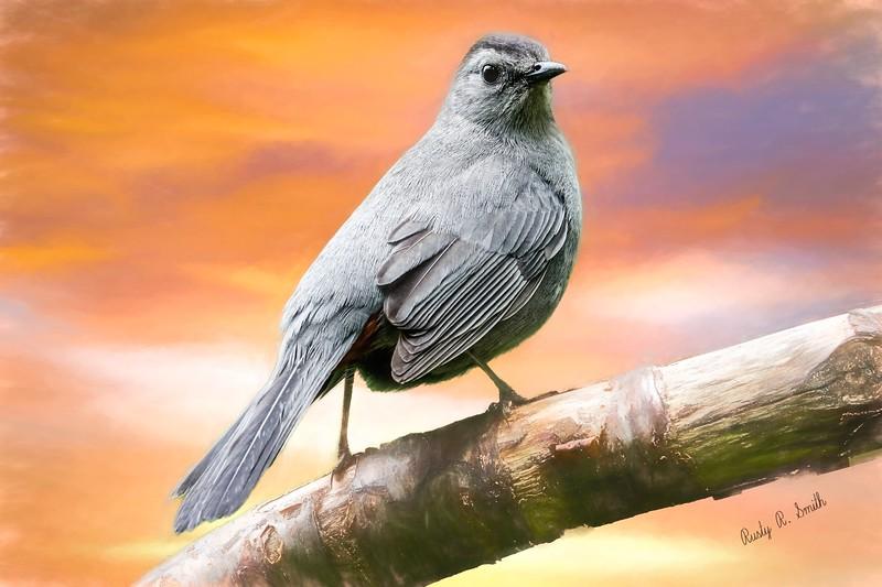 Grey Catbird portrait