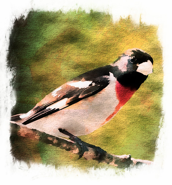 a vertical stock photograph of a male rosebreasted grosebeak pearching.