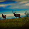 silhouette of bull and cow elk.