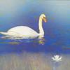 A single mute swan
