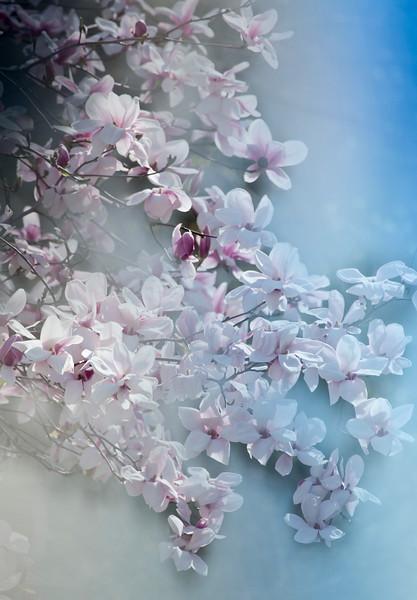 Soft Tulip tree blossums