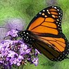 Close view of a  monarch butterfly on purple flowers.