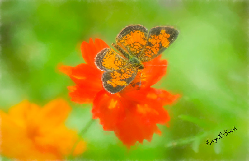 Small orange and black moth on red flower.