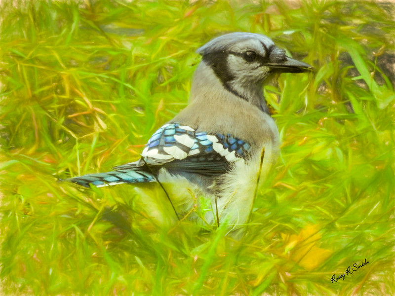 Blue Jay on the ground.