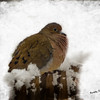 A cold Mourning Dove
