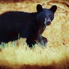 A young Black Bear Feeding alone.