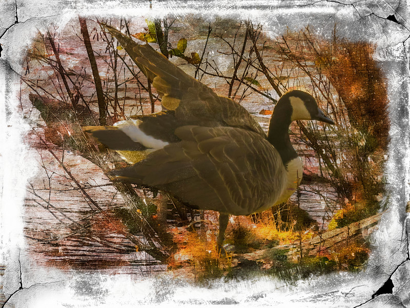 A single Canada Goose standing on a log.