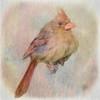 Young Cardinal.