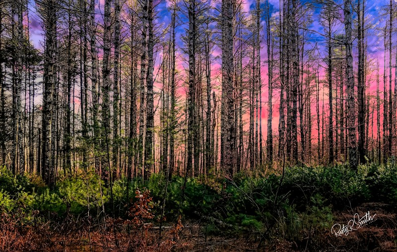 Stand of pines against pink sunset.