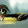 A male wood duck portrait.