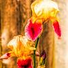 Iris Blossoms