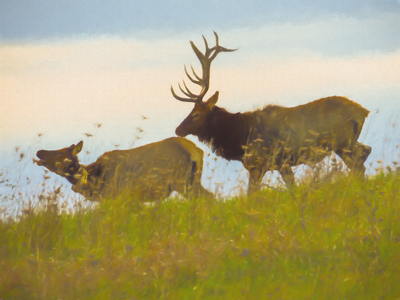A portrait of a Large Bull Elk Following a Cow,rutting season.