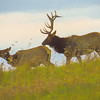 A portrait of a Large Bull Elk Following a Cow,rutting season.