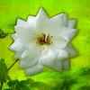 Artized photo of a single white blossom.