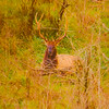 An artistic view of a large Pennsylvania Bull Elk laying down in the thick brush.