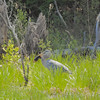 Blue Heron with large fish.
