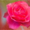 Soft red rose.