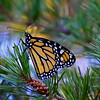 Monarch butterfly on a pine bough.
