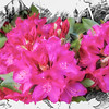 Red Rhododendron flowers