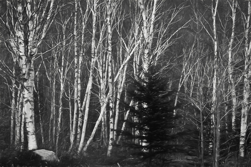 A digital art photo of a stand of white birch trees. Black and white.