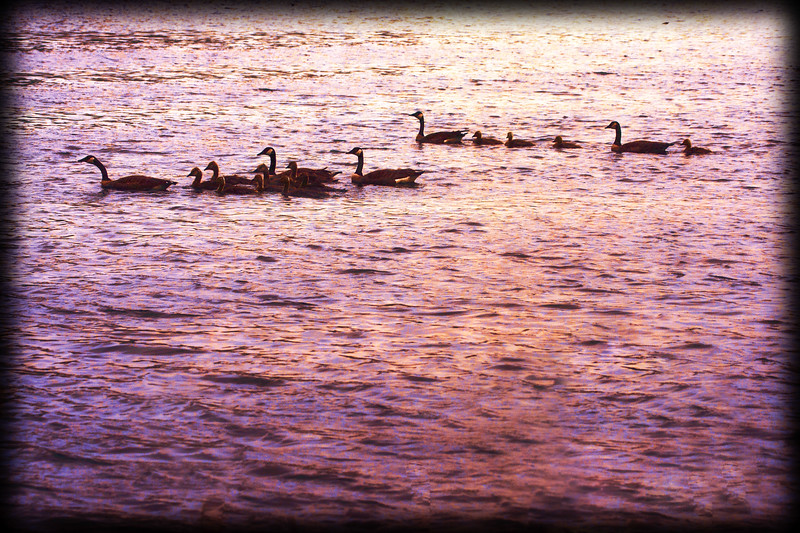 Two Canada Geese families swimming together
