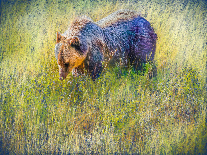 Grizzly Bear eating huckleberries.