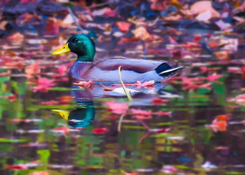 Male Mallard floating among the autumn leaves