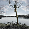 Lone Birch on lake shore.