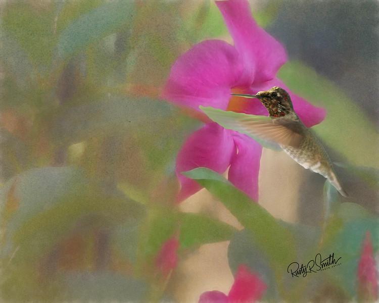 Hummingbird on Pink flower.