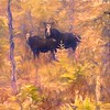Art photograph of Two  moose standing in New Hampshire Bog.