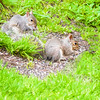 Two young gray squirrels feeding.